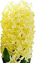 5 Yellow Queen Hyacinth Bulbs -Top Size Bulbs 16-17 cm