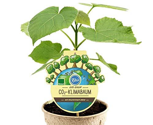 1 x Paulownia CO2 Klimabaum, Sorte NordMax21®, extrem schnellwüchsiger Schattenbaum + Wertholz auch Blauglockenbaum, Kiri-Baum, Kaiserbaum, bot. P. tomentosa x P. fortunei (12 cm-Topf)