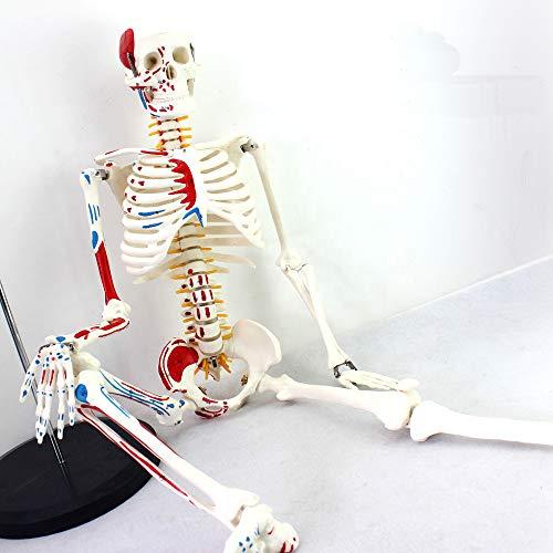 Menschliches Skelett Modell für Anatomie mit Metallständer, 33.46inches hoch mit Nummerierte Muskelansatz und Herkunft Punkte andRemovable Arme und Beine Wissenschaftliche Studie