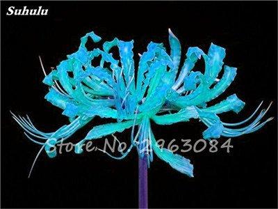 Big Sale! 100 Pcs Red Lycoris Graines Plante en pot Lycoris Radiata Graines de fleurs Plantation vivace intérieur Fleurs Bonsai Graine de plantes 20