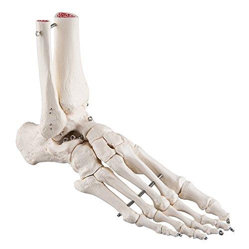Menschliches Fußgelenkmodell in Lebensgröße, anatomisches Modell-Skelett, medizinisches Anatomie
