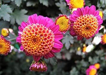 VISTARIC 100 Rose Zéphirine Drouhin Graines Bourbon Heirloom Rose Rose Rose Graines Grimpeur Escalade Bonsai fleurs et plantes de jardin Graines
