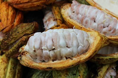 SANHOC Samen-Paket: Kakao-Frucht Samen- Schokolade New Frisch 5 Finest Seeds Sehr RareSEED