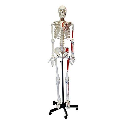 MonMed Numbered Medical Skeleton Model, Life Size Skeleton Model – Human Skeleton Model for Anatomy Halloween Decor