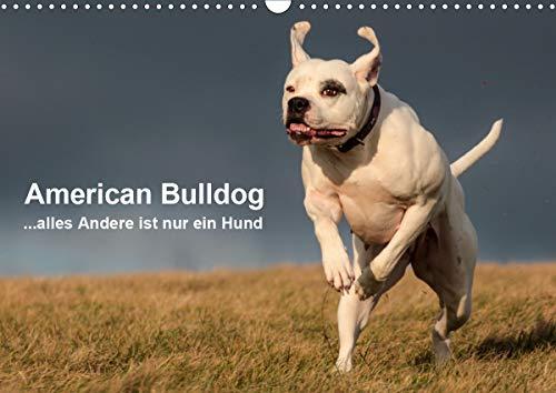 American Bulldog - alles Andere ist nur ein Hund (Wandkalender 2021 DIN A3 quer)