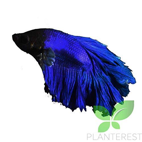 Live Aquarium Betta Fish Male Pure Blue Halfmoon Ready to Add in Plants Tank