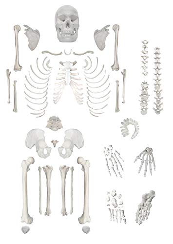 Disarticulated Human Skeleton, Full, Medical Quality, Life Sized (62' Model Height) - 23...