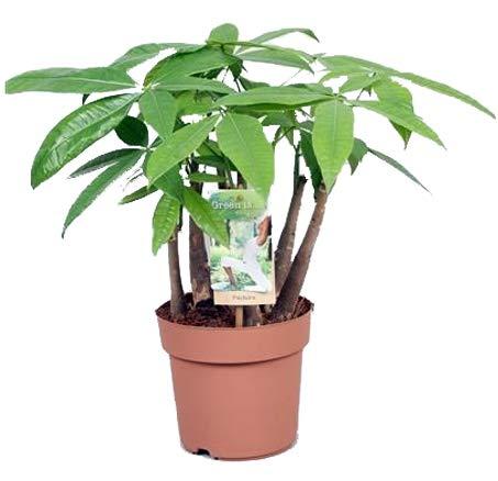 Glückskastanie (Pachira aquatica), pflegeleichte Zimmerpflanze (mehrstämmig im 17cm Topf, ca. 50cm hoch)