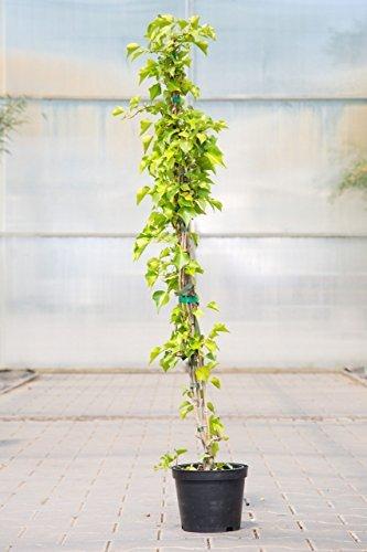 Gemeiner Efeu 80-100 cm Kletterpflanze für Sonne-Schatten Heckenpflanze dunkelgrün, grünes Laub Gartenpflanze immergrün 1 Pflanze im Topf