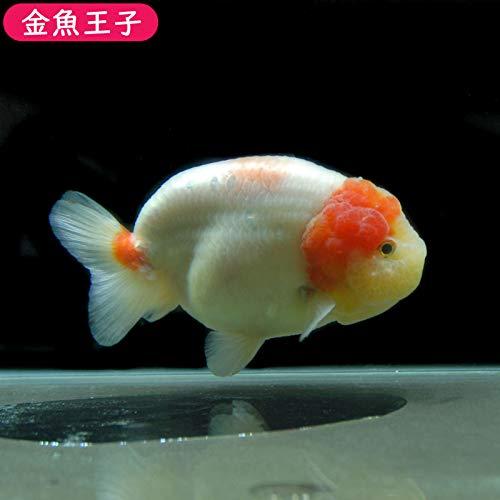 【金魚王子】桜錦 (13センチ前後) 個体番号:asd742 金魚 きんぎょ 生体 らんちゅう 厳選個体