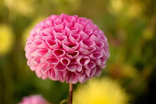 NoNo DIY Leinwand Malerei malen nach Zahlen Erwachsene Blumen rosa Ball Dahlie Blume im selektiven Fokus