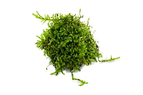 SubstrateSource Christmas Moss Vesicularia sp. Portion Live Aquatic Moss (Small Portion)