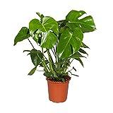Monstera Deliciosa Planta Natural Costilla de Adán Altura 60cm con Maceta de Cerámica Planta de Interior
