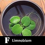DeYL Samen Blumensamen Wasserpflanzen Samen 100Pcs Pistia Wasserhyazinthe Hottonia Ludwigia
