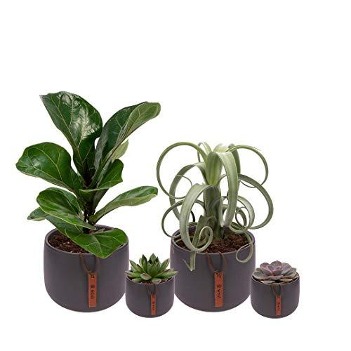 Set van 4 planten met bijpassende grijze plantenpotten - kamerplanten voor binnen met verschillende groottes - Kodi