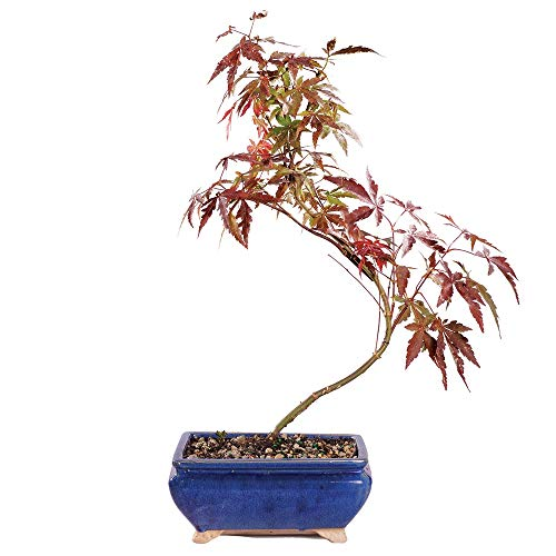 Brussel's Bonsai Live Japanese Red Maple Outdoor Bonsai Tree-4 Years Old 6' to 10' Tall with Decorative Container, Medium