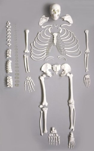 Wellden Medical Full Disarticulated Skeleton, Human Anatomical, Life-Size, 170cm