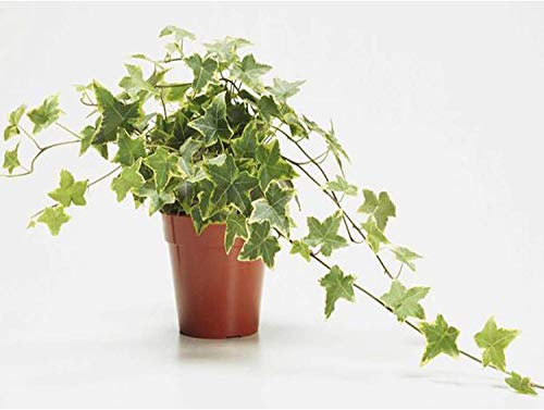 AMERICAN PLANT EXCHANGE English Ivy Variegated Easy Care Trailing Vine Live Plant, 6″ Pot, Indoor/Outdoor Air Purifier