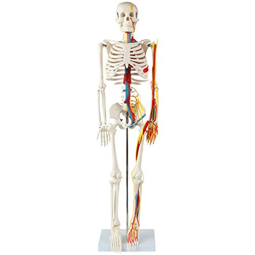 "Anatomy Lab 33"" Human Skeleton Model with Nerves, Veins and Arteries, Removable Skull Cap, and Articulated Mandible - Includes Display Stand, Worry Free Warranty, Perfect for Doctors, Students & Study"