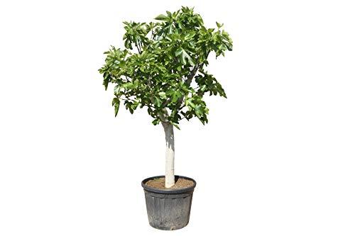 Ficus Carica - Feigenbaum - 240cm - stammumfang 35cm - winterhart - feige