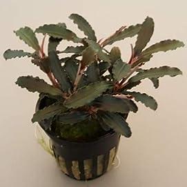 Bucephalandra 'Kedagang' Wasserpflanze