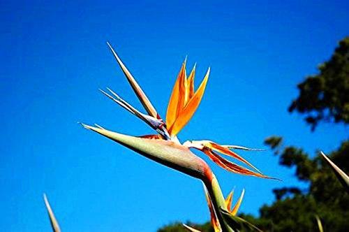 Nouvelle arrivée! 100 Indoor Plante en pot fleur d'oranger Strelitzia Reginae Bird Of Paradise Seeds maison Jardim Bonsai Sementes ga