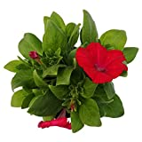Hängepetunie rot im 6er-Set, Petunia, großblumig, Topf 12cm Ø