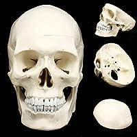 人間の頭の頭蓋骨モデル1:1解剖学的モデル医学頭蓋骨の人間の解剖学的解剖学の頭は、学校のプレゼンテーションツールのための解剖学教育用品を研究しています