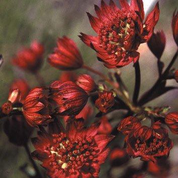 Plant World Seeds - Astrantia Major Hadspen Blood Seeds
