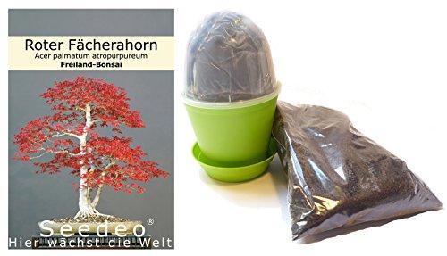 Seedeo® Bonsai Anzuchtset Roter Fächerahorn (Acer palmatum atropurpureum)