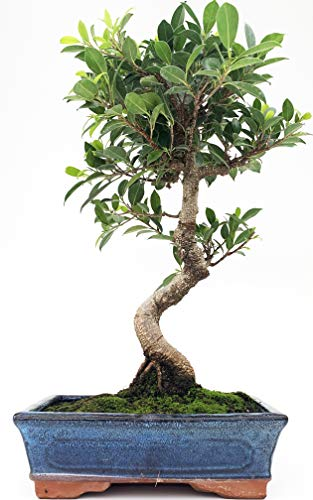 Bonsai Ficus Retusa Tiger Bark 10 Jahre