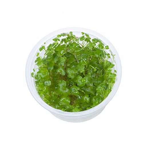 Tropica Hydrocotyle Tripartita 1–2 Grow Tissue Culture in Vitro Plante d'aquarium sans escargot