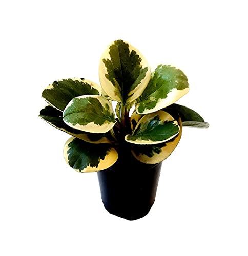 Lịvẹ Peperomia Obtusifolia Variegated - Peperomia Baby Rubber Plạnt - (3''-4'') Tall - Shịp in Pot