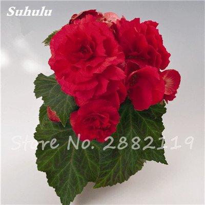 New Balkon Anlage 20 PC bunte Begonien-Blumen-Samen Seltene Rose Rieger Begonia Blume Begonia Indoor Bonsai Pflanzen für Garten 3