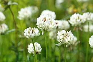 White Dutch Clover Seed Flowering Seeds for Wildlife Food Plots & Soil Erosion Control (3 Lbs)