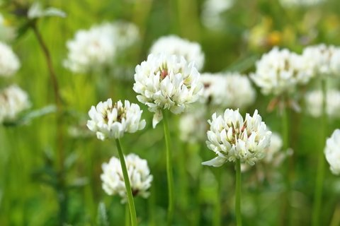 White Dutch Clover Seed Flowering Seeds for Wildlife Food Plots & Soil Erosion Control (10,000 Seeds)
