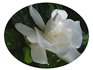 Gardenia Live Plant Intensely Fragrant Double White Flowers Spring Summer Bloomer Starter Size Plant