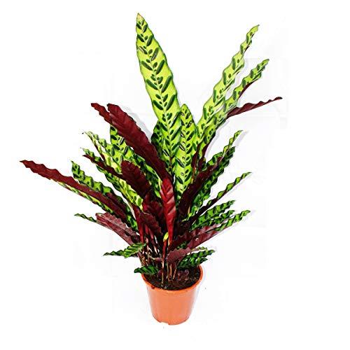 Exotenherz - XXL-Schattenpflanze mit ausgefallenem Blattmuster - Calathea lancifolia - 17cm Topf - ca. 60-70cm hoch