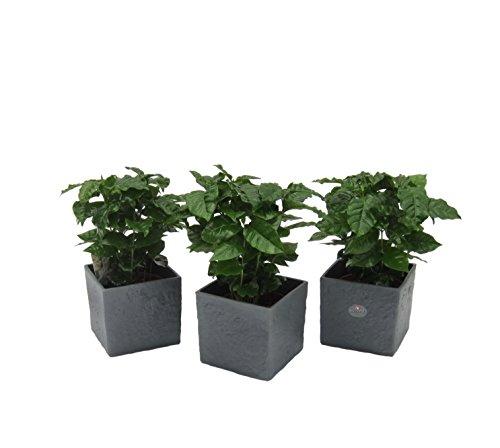 Dominik Blumen und Pflanzen, Zimmerpflanzen Kaffee-Set, 3 Kaffee-Pflanzen im anthrazit farbenen Scheurich Würfel-Umtopf, circa 14 x 14 x 14 cm, grün