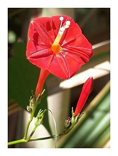 Ipomoea hederifolia - Ipomée à feuilles de lierre - 10 graines