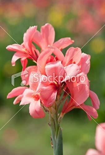 Aerlan Fleur Jardin Plantes vivaces résistante,Potted Flower Canna Garden seeds-10 Capsules_f11,Maison Jardin Extérieurplante