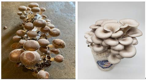 Combo Mushroom Kits(1 Organic Shiitake Mushroom kit + 1 Oyster Mushroom Growing Kit) Harvest Gourmet Oyster Mushrooms in 10 Days, Great Gift, Safe for Kids