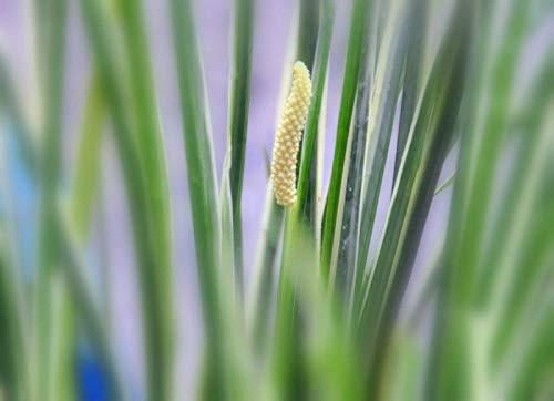 6 Pflanzen Kalmus, kräftige Teichpflanze/Wasserpflanze, Wasserreinigung