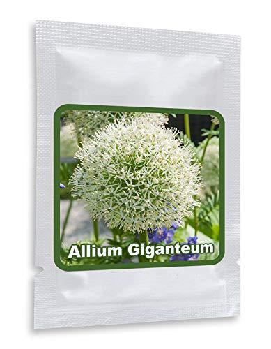 RIESEN LAUCH WEISS (Allium giganteum) - 30 Samen/Pack - Zierlauch - Winterhart - Riesenlauch