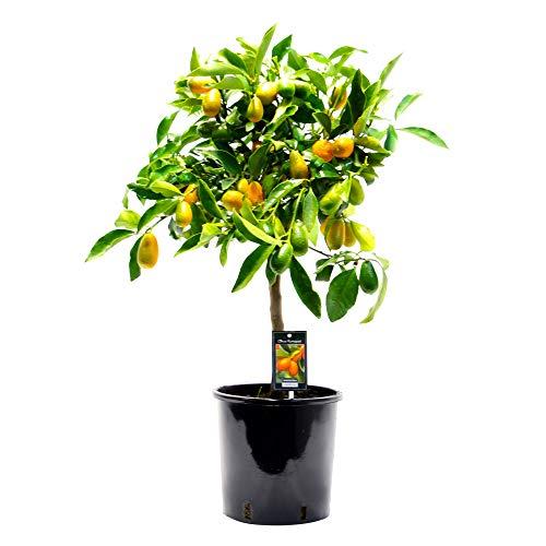 Citrus Japonica 'Kumquat' | Citrus Kumquat Tree | Delivery Height 80-85cm | Ø22cm