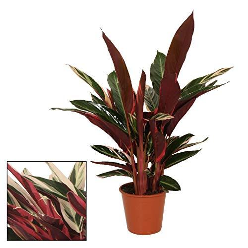 Exotenherz - Schattenpflanze mit ausgefallenem Blattmuster - Calathea triostar - 14cm Topf