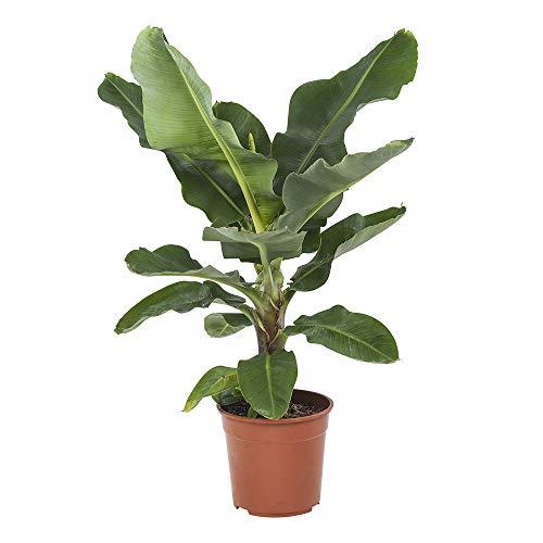 Choice of Green -1 Musa Nano Cavendish o pianta da camera a banana nella pentola dei coltivatori ?27 cm-altezza ? 80 cm