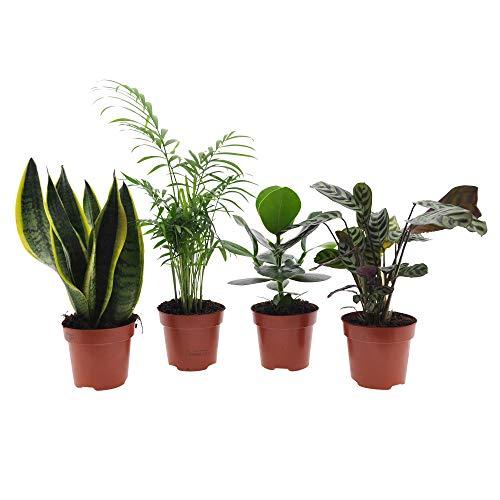4x Pflegeleichte Zimmerpflanzen | 4er Set Grünpflanzen | Bogenhanf, Bergpalme, Balsamapfel, Korbmarante | Höhe 30-50cm | Topf Ø 12cm