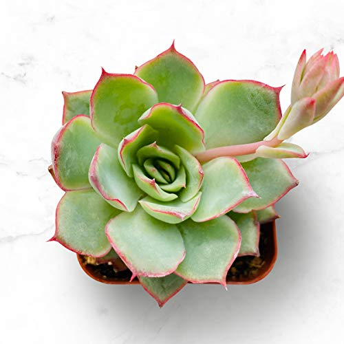 "Succulent Plants, Echeveria Moon GAD Varnish, Rosette Succulent Fully Rooted in 2"" Planter for Indoor Office Baby Shower Party Décor"