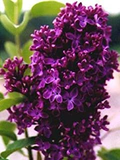 Monge Lilac, Starter Potted Plant, Dark Purple/Red Flowers, Great as a Accent Plant, Shrub, Border Starter Plant, in Dormancy
